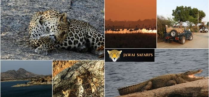 Jawai - The Land of leopards