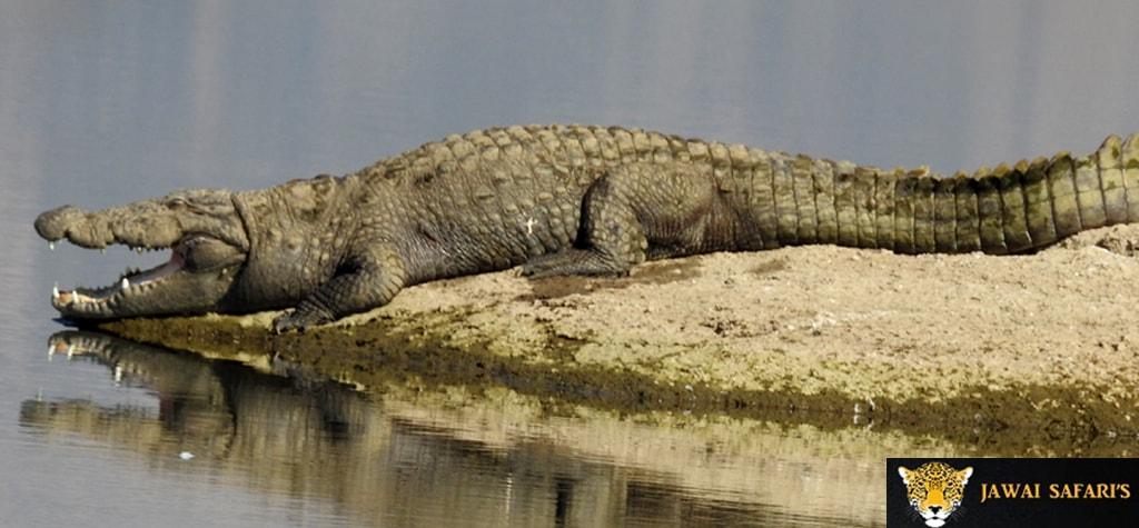 Jawai crocodile sanctuary