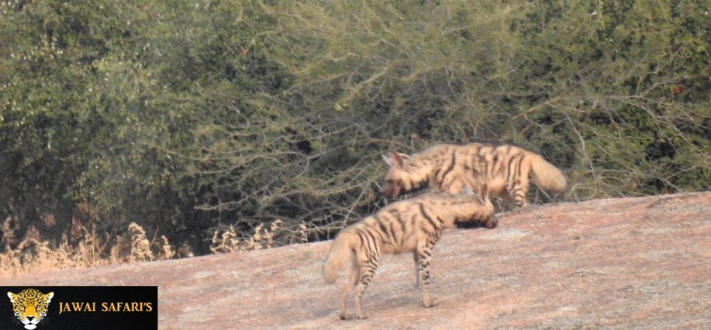 Bera Jungle Safari picture
