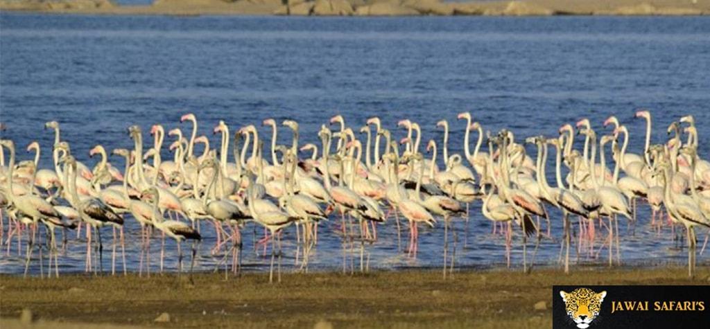 Jawai - Migratory Birds Pics